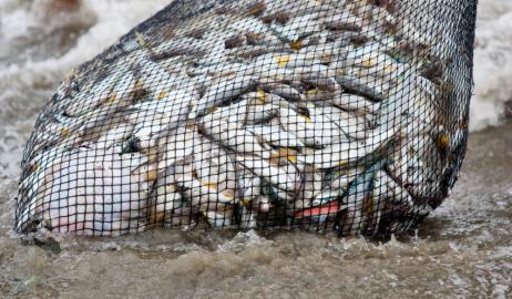Πολύ μεγαλύτερος ο πραγματικός αριθμός των αλιευμένων ψαριών