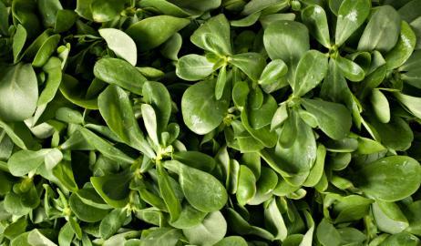 Γλιστρίδα, ένα θεραπευτικό φυτό με ιστορία 2.000 ετών