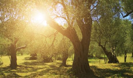 Προϊστορία και ιστορία της ελιάς