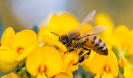 Πώς ο μειούμενος πληθυσμός των μελισσών επηρεάζει την διατροφική αλυσίδα