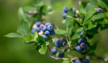 Μύρτιλο, το ευρωπαϊκό blueberry
