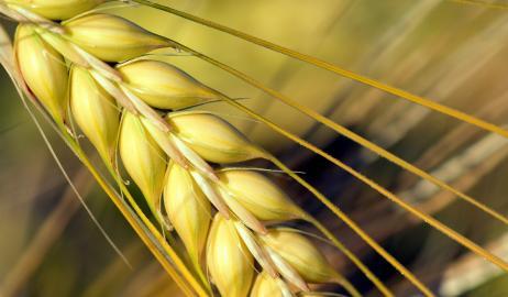 Το κριθάρι συμβάλλει στην μείωση της χοληστερίνης