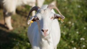 Κατσικίσιο γάλα: ένας «θησαυρός» από τα παλιά