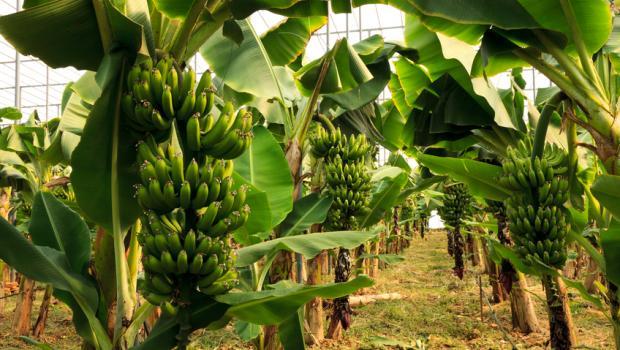 Απόβλητα μπανάνας για την παραγωγή ηλεκτρικής ενέργειας