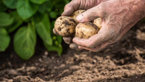 Γιατί πρέπει να προτιμάμε τις βιολογικές πατάτες.