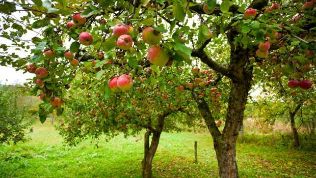 Ας προτιμήσουμε τα βιολογικά μήλα