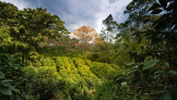 Η κλιματική αλλαγή θα εξαφανίσει τον καφέ στο άμεσο μέλλον