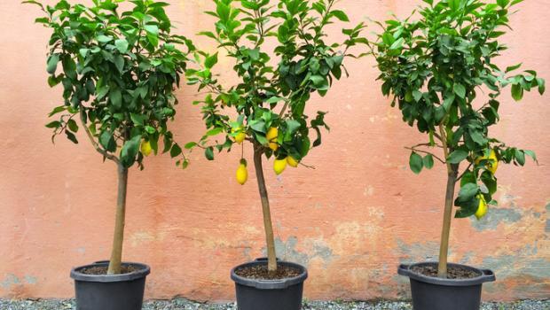 Καλλιέργεια εσπεριδοειδών στον κήπο ή σε γλάστρα