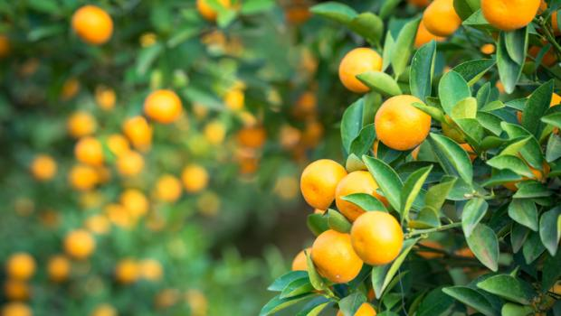 Κουμκουάτ: Tο ιδιότυπο μικρό χρυσό πορτοκάλι!