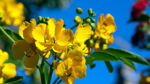 Φύλλα Αλεξανδρείας, το φυσικό καθαρτικό και όχι μόνο