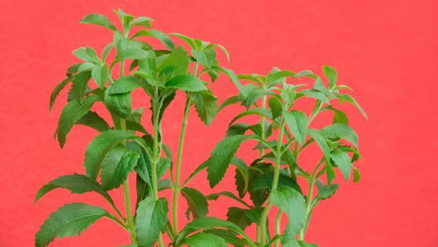 Οι ιδιότητες της stevia, του γλυκαντικού που κάνει τη διατροφή μας καλύτερη και πιο υγιεινή